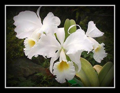 20110729040017-orquidea-blanca.jpg